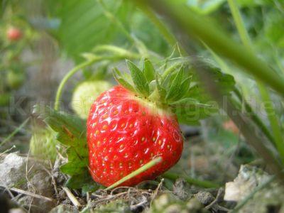 Obst-Erdbeeren-Frühling-Mai-DSCN5711