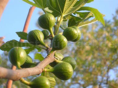 Obst-Feigen-Frühling-Mai-DSCN5718