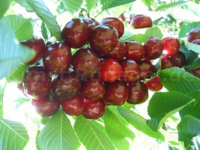 Obst-Kirschen-süss-DSCN8622