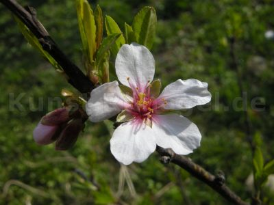 Obst-Pfirsich-Blüten-DSCN9693