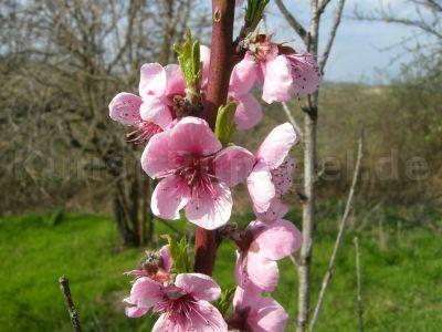 Obst-Pfirsich-Blüten-DSCN9999