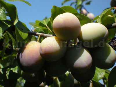 Obst-Pflaumen-DSCN3572