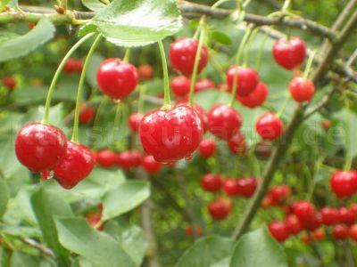 Obst-Sauerkirschen-DSCN6110