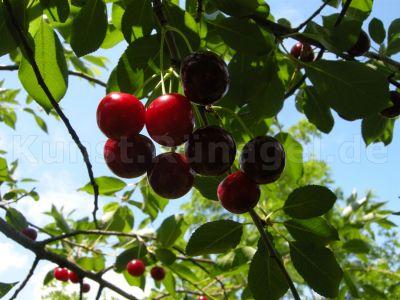 Obst-Sauerkirschen-DSCN8782