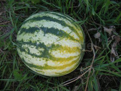 Obst-Wassermelone-DSCN0092