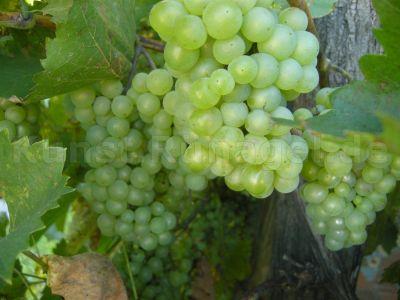Obst-Weintrauben-August-DSCN7098