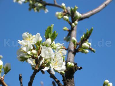 Obst-Zwetschgen-Blüten-DSCN0044