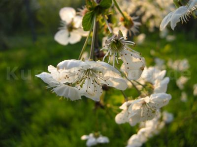 Obstgarten-Blüten-Sauerkirsche-DSCN4377