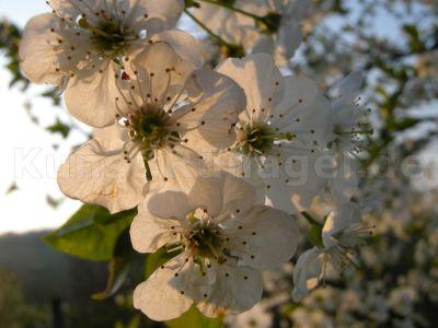 Obstgarten-Blüten-Sauerkirsche-DSCN4378