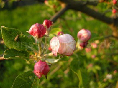 Obstgarten-Blüten-Äpfel-DSCN4397