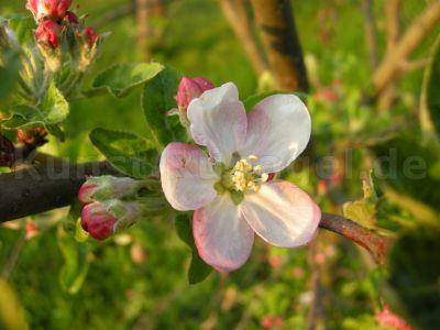 Obstgarten-Blüten-Äpfel-DSCN4400