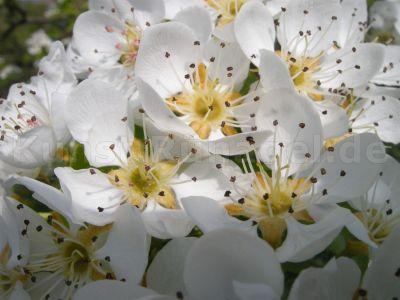 Ost-Birnen-Blüten-Obstgarten-DSCN7112