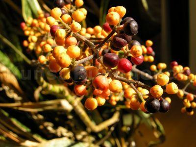 Schefflera-Früchte-DSCN3728