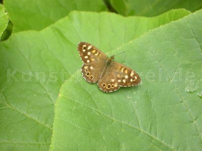 Schmetterling-Falter-DSCN9477