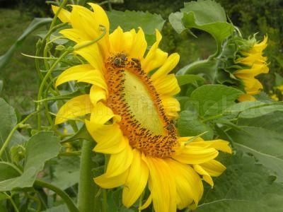 Sonnenblume-Blüte-Bienen-Kletterbohnen-DSCN9526