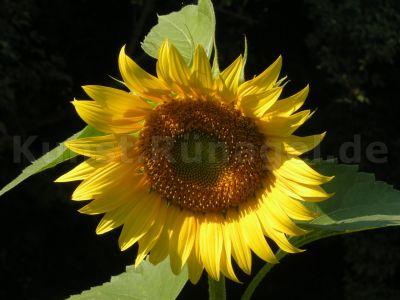 Sonnenblume-Blüte-DSCN4941