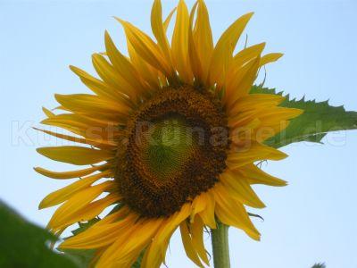 Sonnenblume-DSCN9861