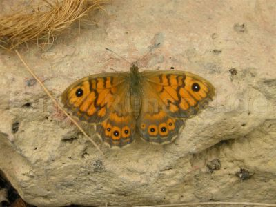 Tier-Schmetterling-DSCN2710