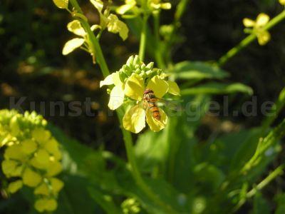 Tier-Schwebfliege-auf-Senf-DSCN3402