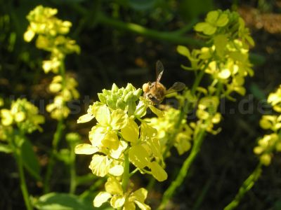 Tier-Wildbiene Auf Senf-DSCN3401