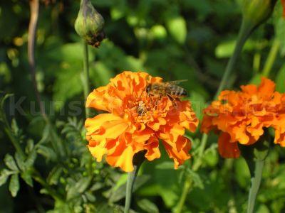Tiere-Biene-Tagetes-DSCN3681
