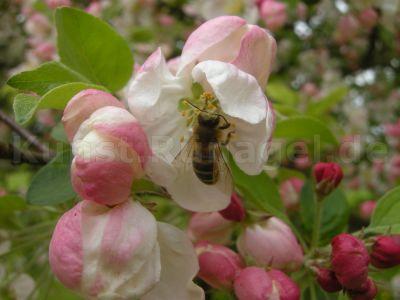 Tiere-Bienen-Apfelblüten-DSCN5493