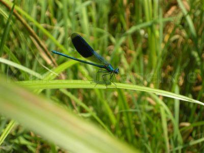 Tiere-Libelle-blau-Biotop-DSCN9891