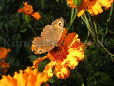 Tiere-Schmetterling-Tagetes-DSCN3641