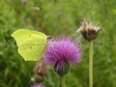 Tiere-Schmetterling-Zitronenfalter-DSCN0092