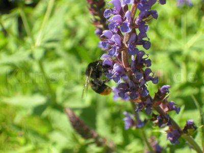 Tiere-Wildbiene-Salbei-DSCN4095