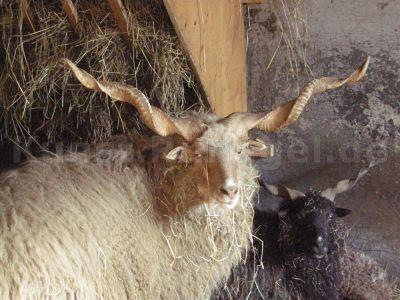 Tiere-Zackelschafe-DSCN9244