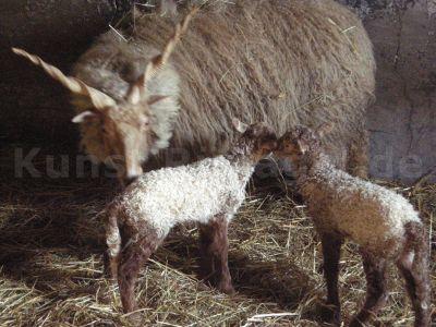 Tiere-Zackelschafe-DSCN9252