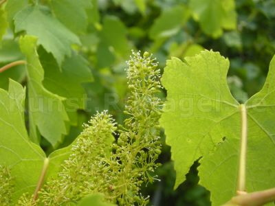 Wein-Blüten-DSCN9552