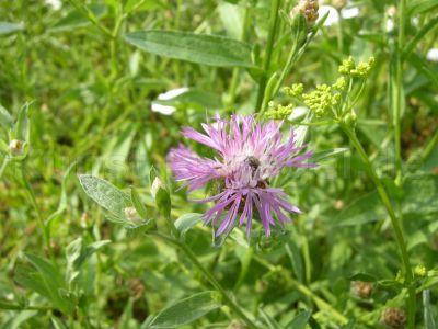 Wiese-Blume-DSCN6807